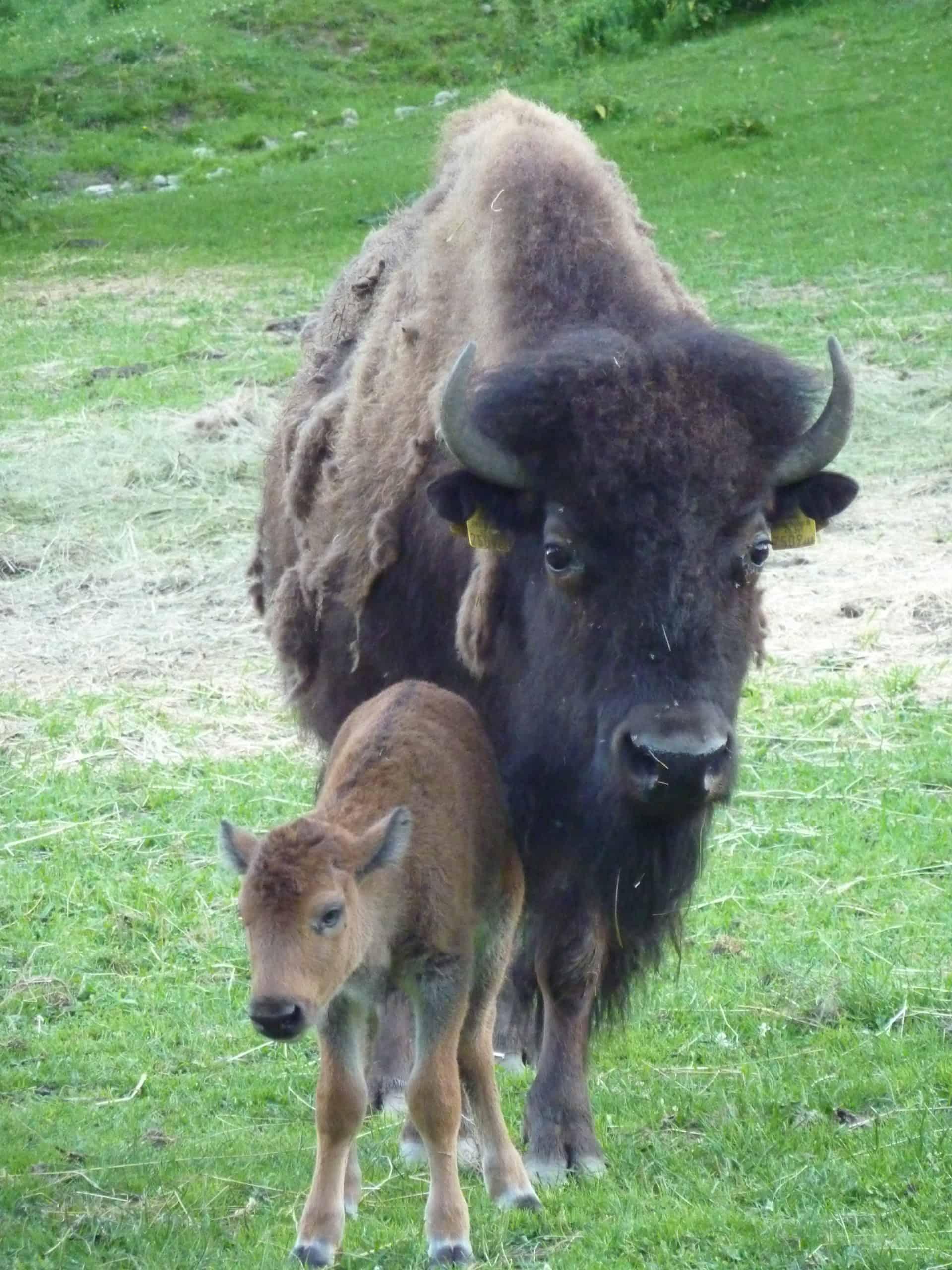 Bison mit Baby im Tierpark Nähe Velden am Wörthersee in Österreich