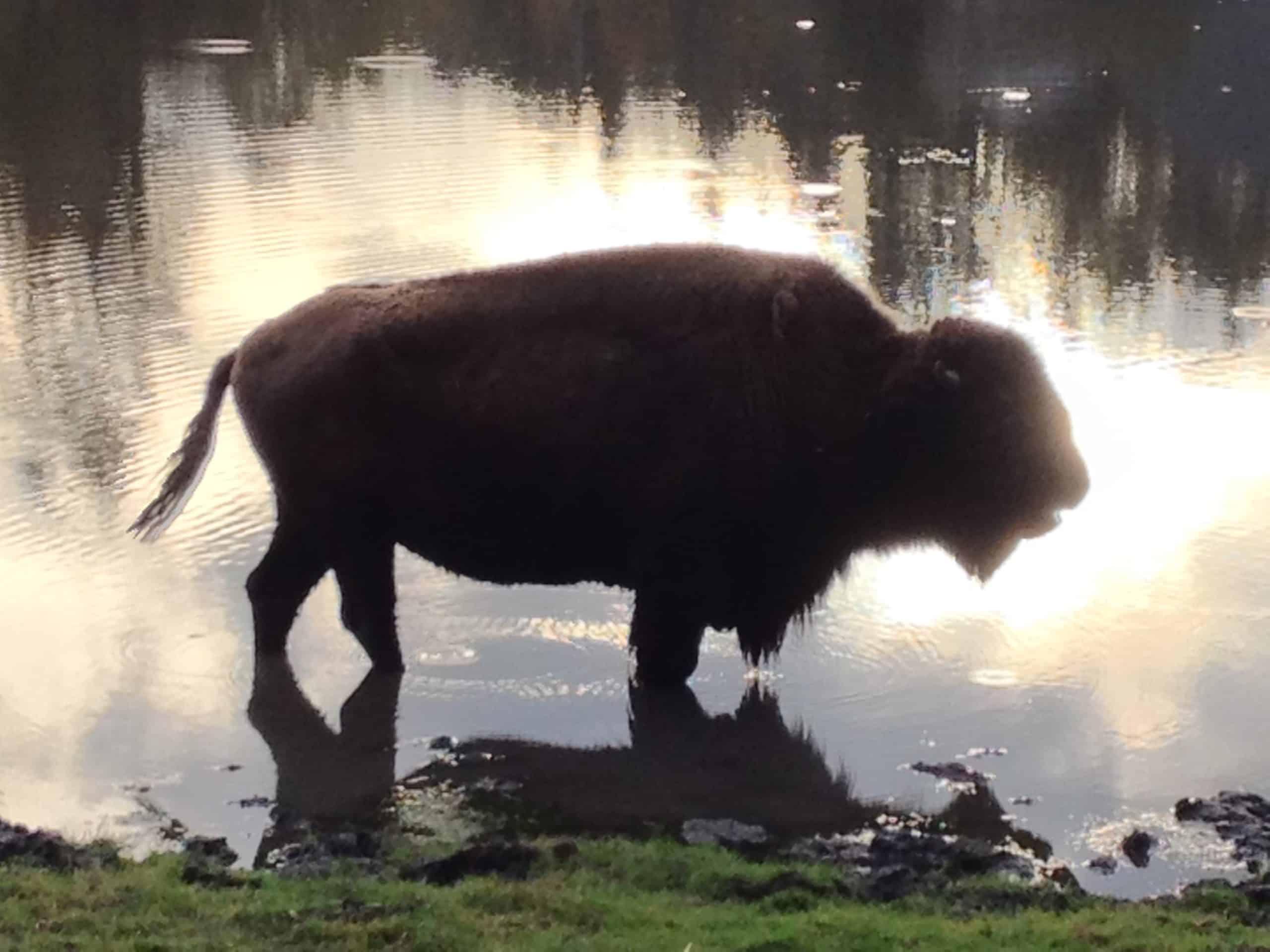 Bison im Tierpark Nähe Wörthersee in Rosegg, Kärnten
