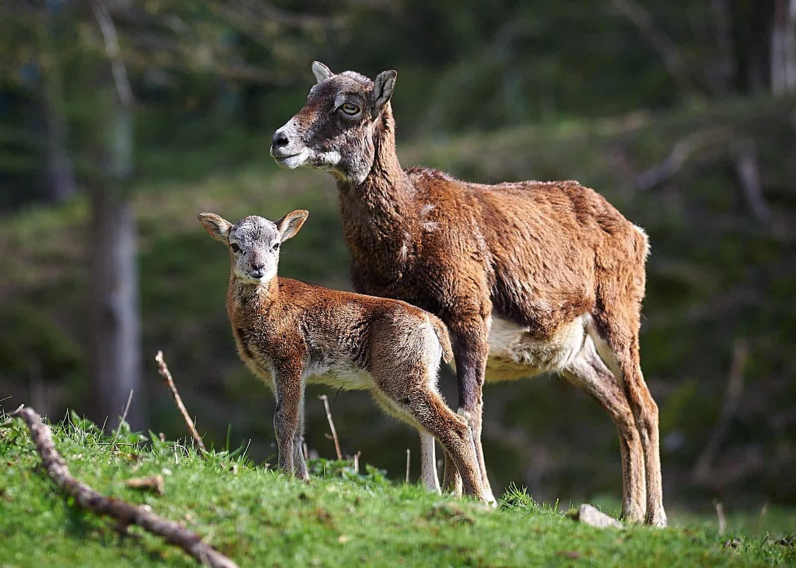 Mufflon mit Baby im Tierpark Rosegg