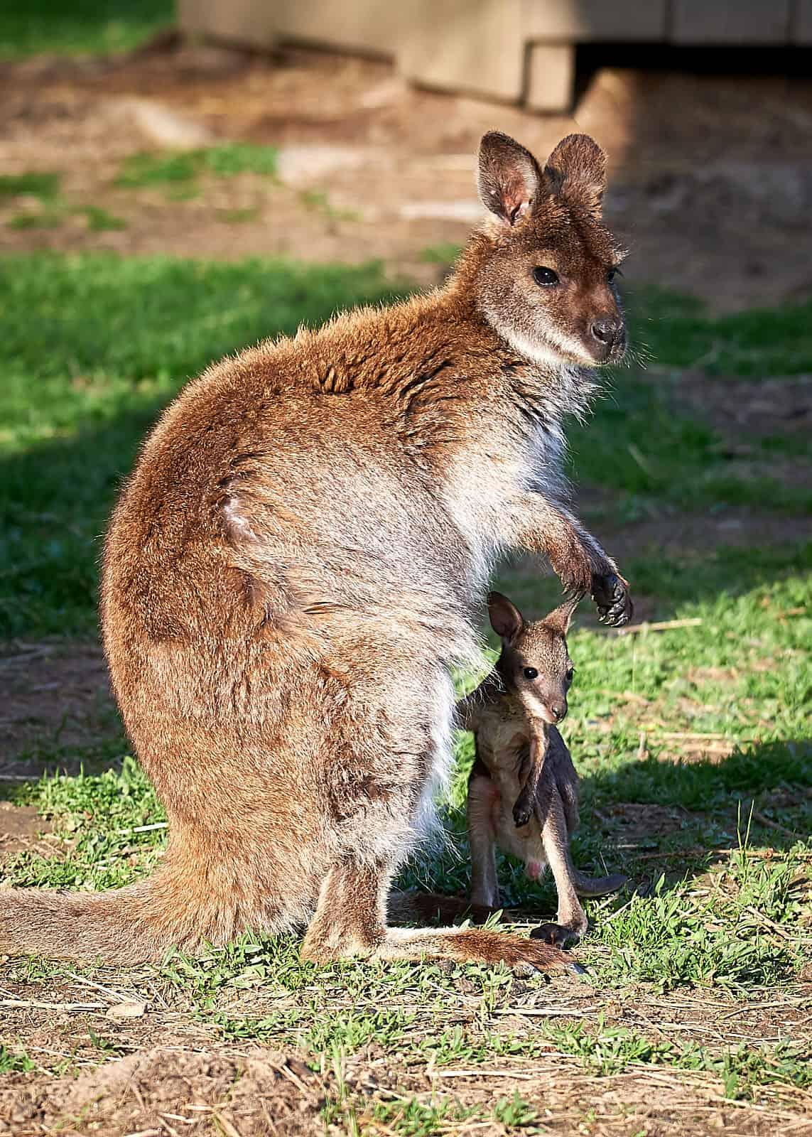 Kangaroo mit Baby im Kleintier-Zoo Rosegg Nähe Velden am Wörthersee in Österreich