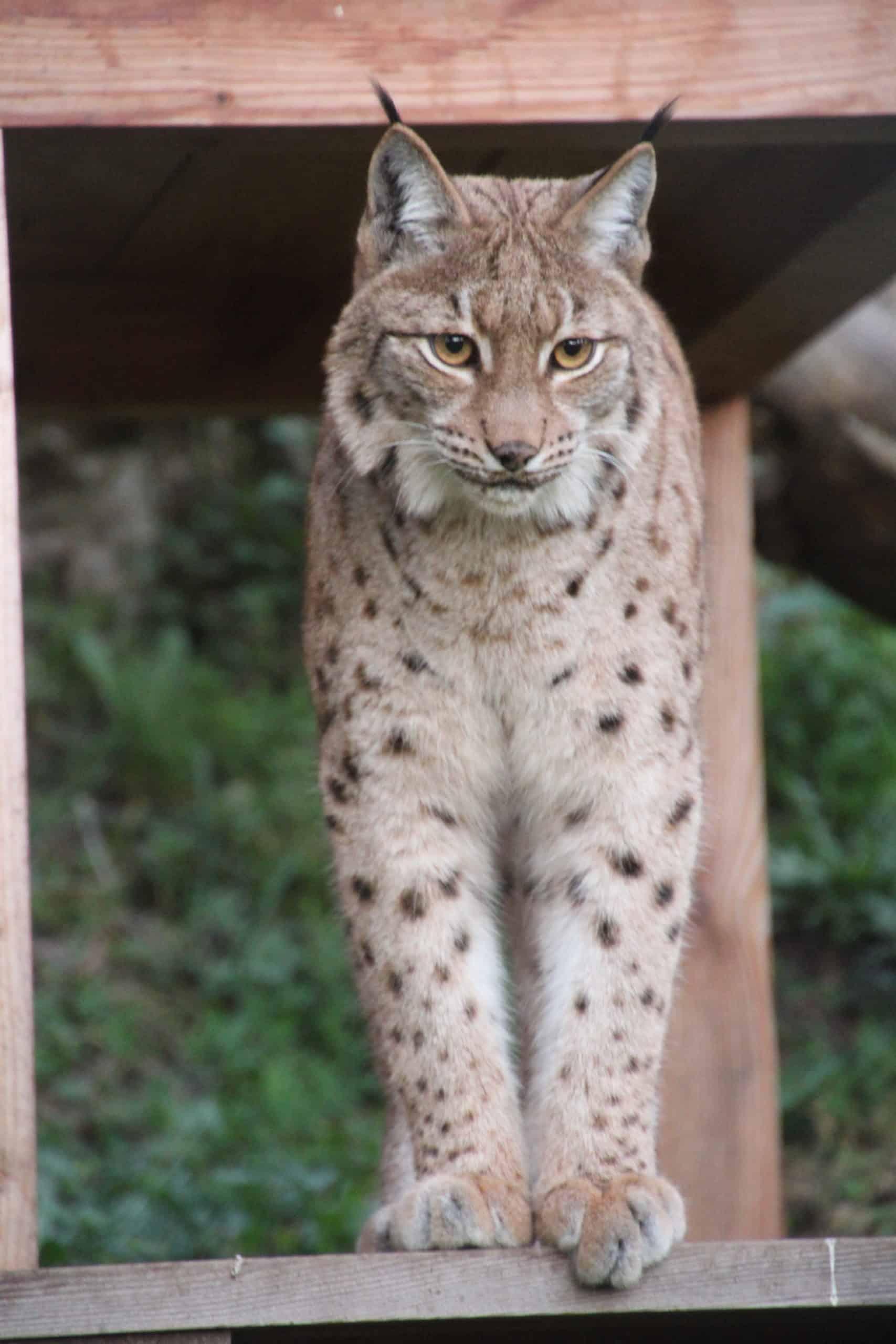 Luchs - Tier im Tierpark Rosegg in Kärnten - Ausflugsziel in Österreich