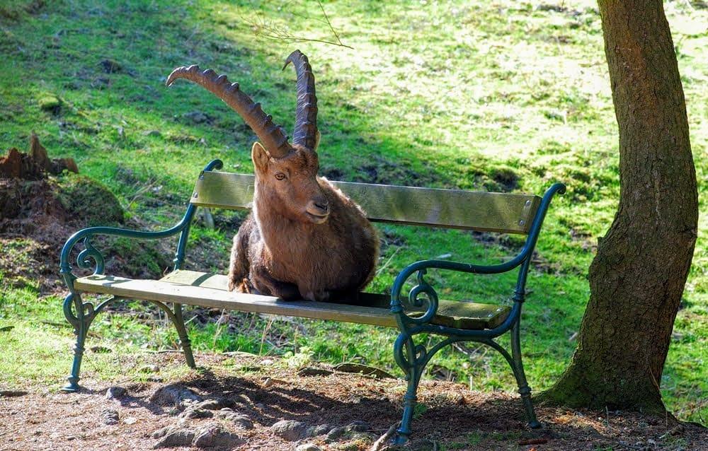 Wild im Tierpark Rosegg, Steinbock auf Bank