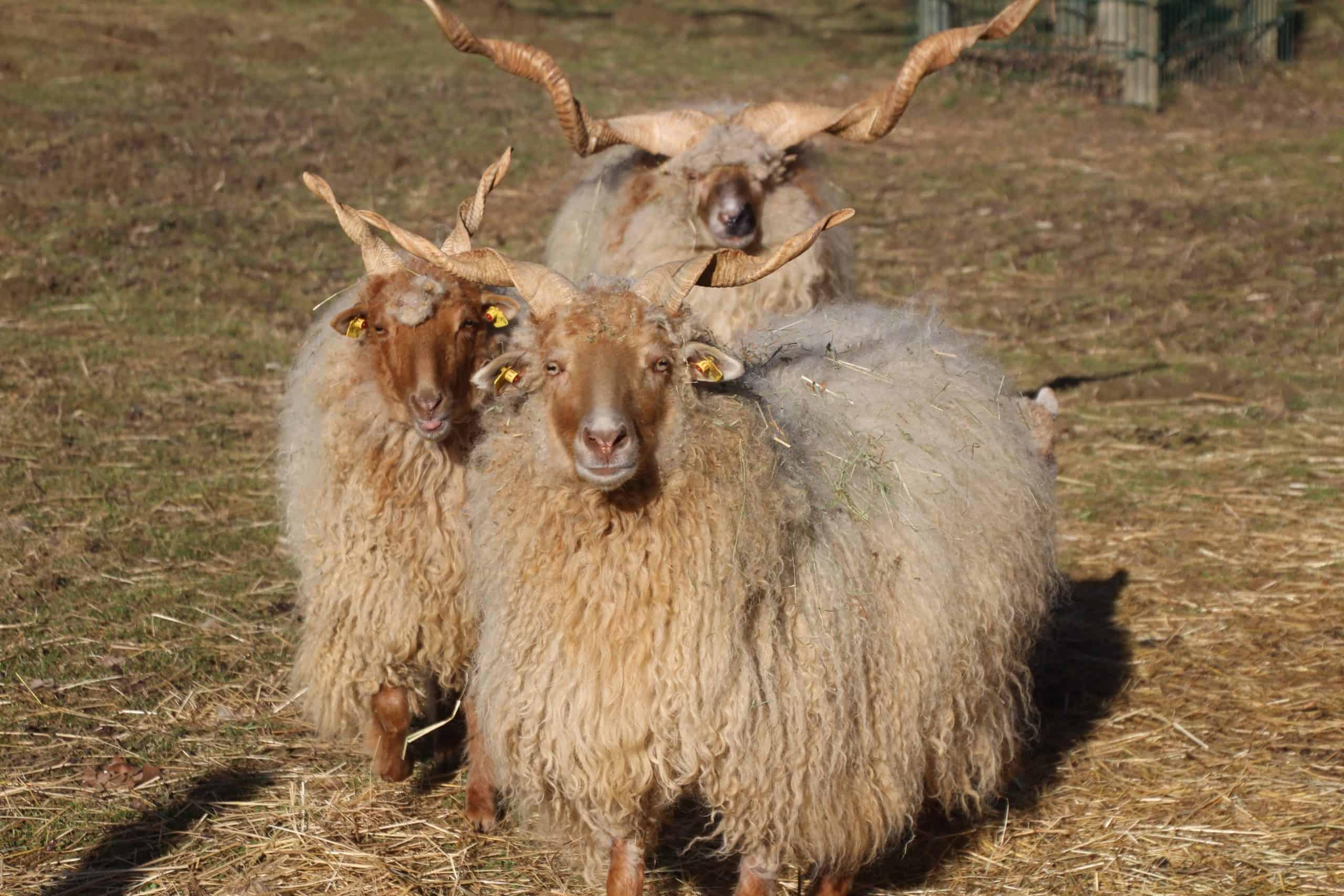 Schafe im Kleintierzoo Rosegg