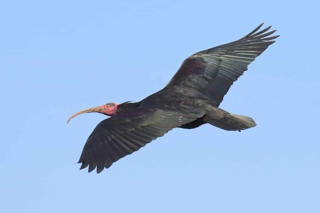 Ibis im Flug bei Waldrapp Artenschutz-Programm