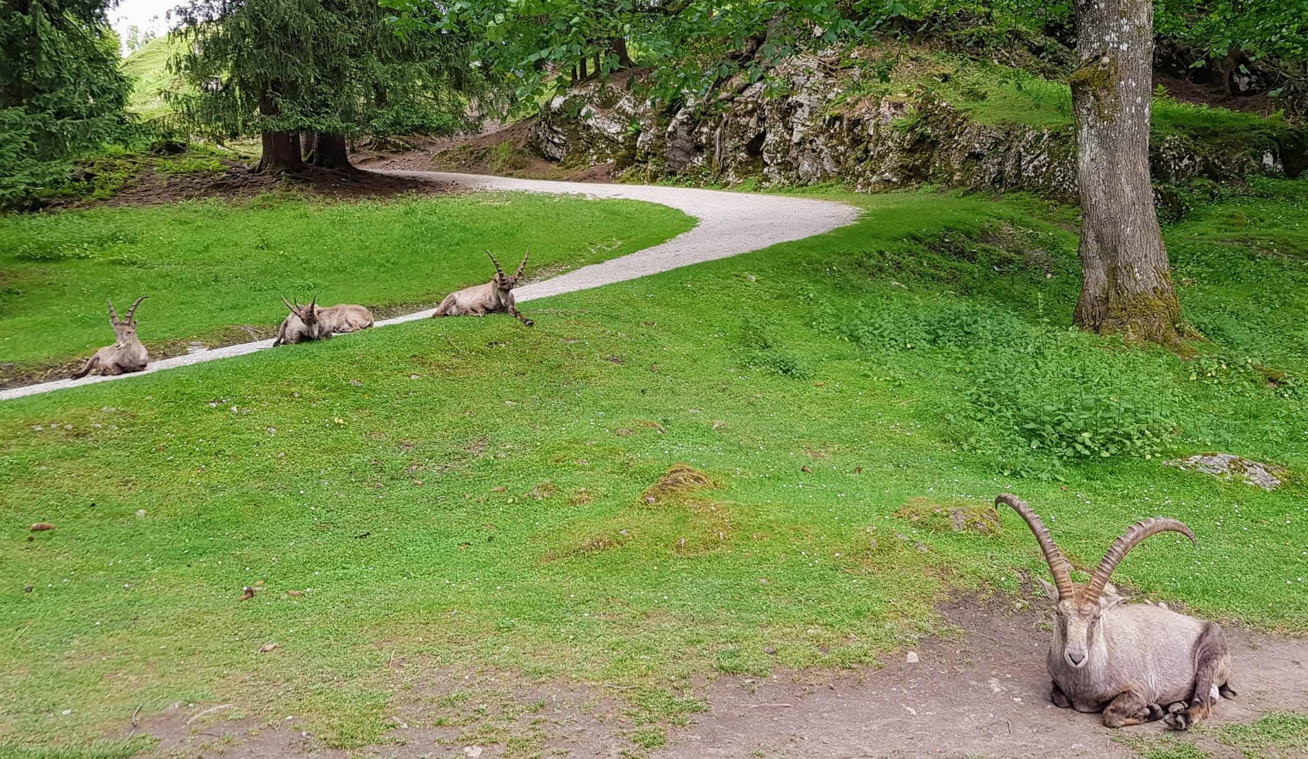 Steinböcke mit COVID Abstand im Tierpark Rosegg
