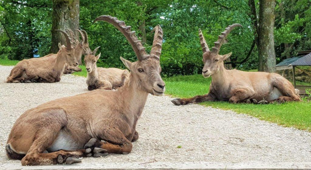 Steinböcke Wildtierpark Rosegg in Kärnten - Ausflugsziel in Österreich