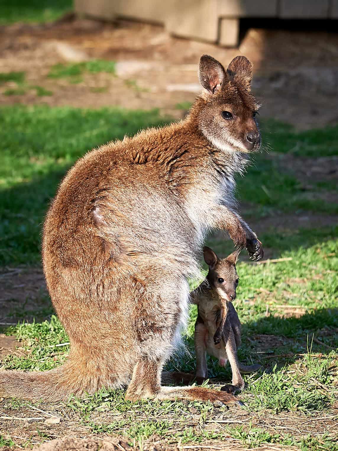 Tiere mit Baby im Streichelzoo Rosegg Nähe Velden am Wörthersee in Kärnten