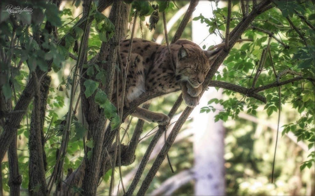 schlafender Luchs im Baum