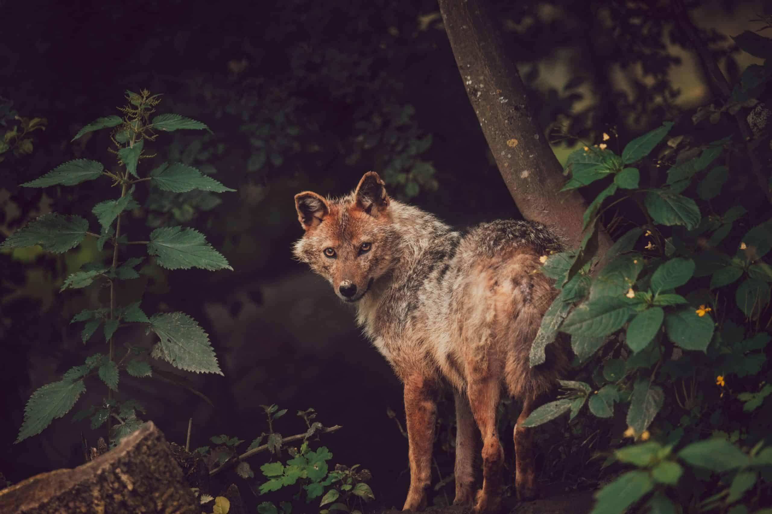 Schakal im Tierpark Rosegg in Kärnten - Ausflugsziel in Österreich