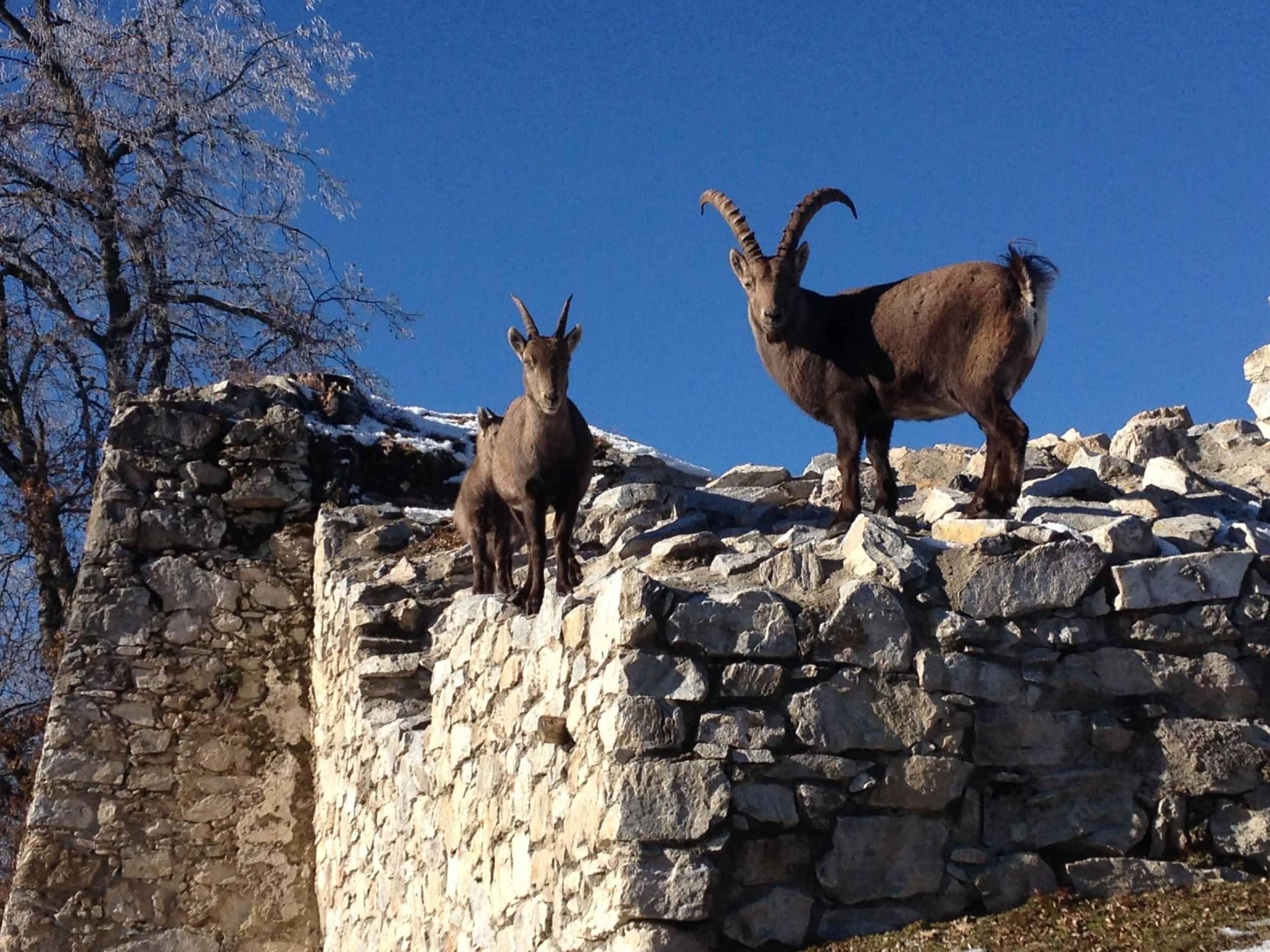 Tiere auf Burgmauer