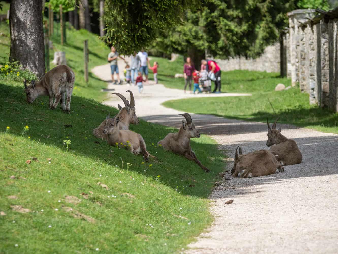 Familien und Steinböcke im Wildtierpark Rosegg