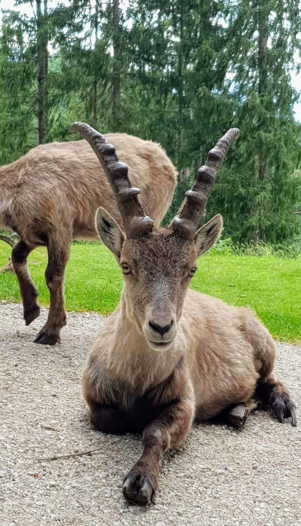 Steinbock im Tierpark Rosegg